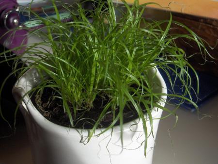 gras of een echte plant???
