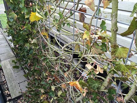 Klimop met gele bladeren en kale plekken