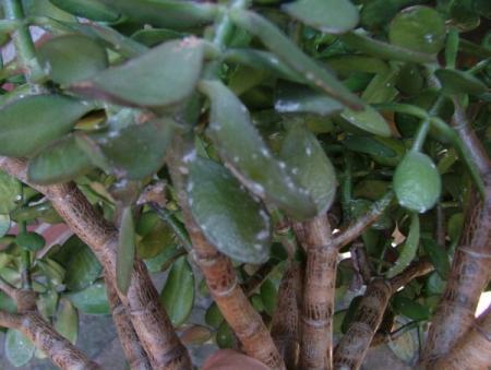 Plantenziekten