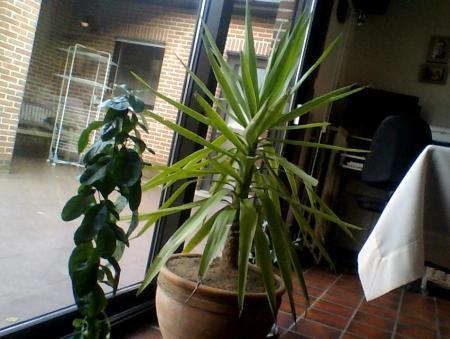 welke yukka-plant is dit?