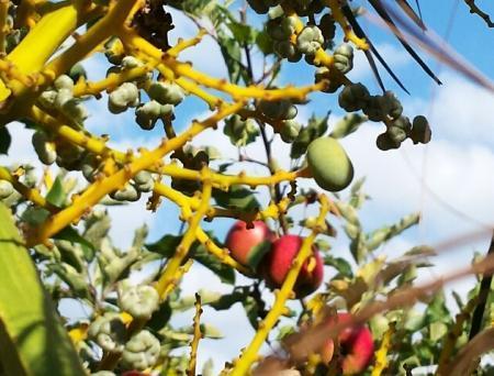 Verschillende zaden aan de Tracyhycarpus