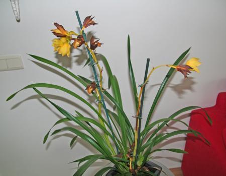 Help! Orchidee wordt zwart! (+ foto)