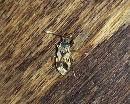 Wat is dit voor een insect?