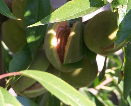 abrikozen knappen open voor ze rijp zijn