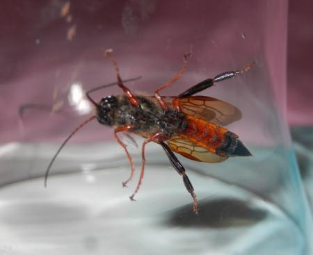 weet iemand welk insect dit is?