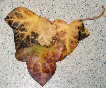 Bladeren klimop vergelen