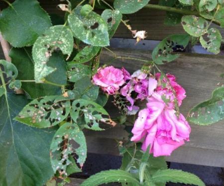 Bladeren van roos zitten vol gaten