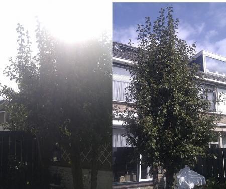 snoeiadvies perenboom
