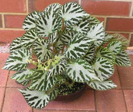 Op zoek naar  Begonia Silver Jewel