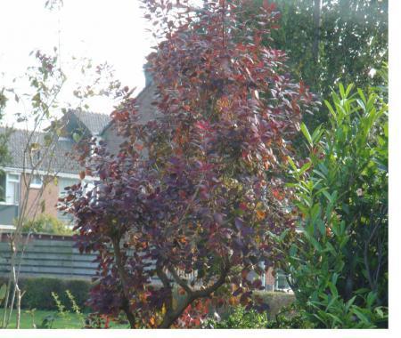 Rood kleurige boompje