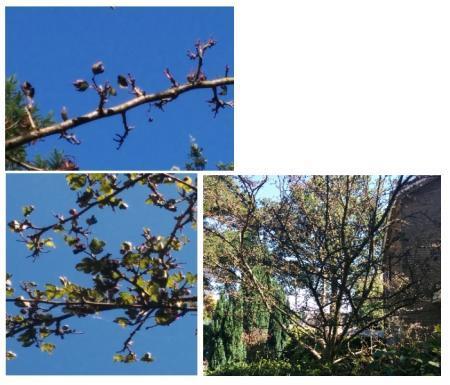 Welke boom (en ziekte) is dit?