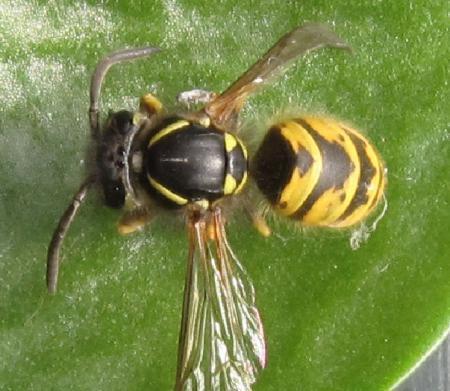 wat voor insect is dit?