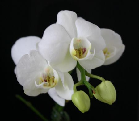 Wanneer is de orchidee uitgebloeit?
