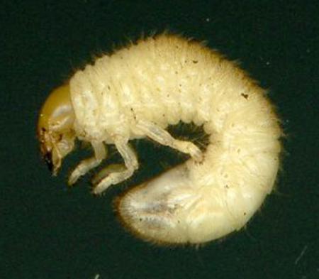 Vreemde larven gevonden