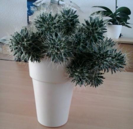 Cactus snoeien?