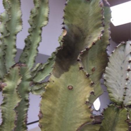 Euphorbia ingens.