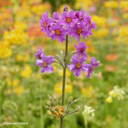 Zoektocht naar Primula Candelabra