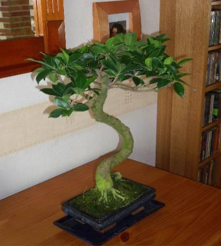 bonsai(ficus)