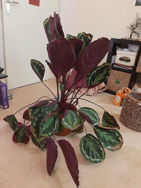 Calathea heeft slappe bladeren