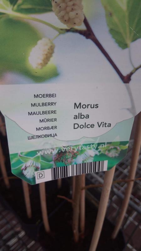 Morus Alba Dolce Vita