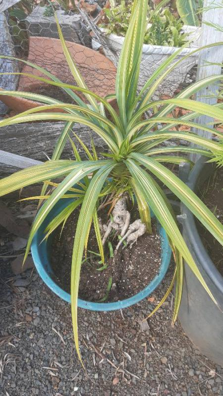 Cordyline? Spider plant? Pandan?