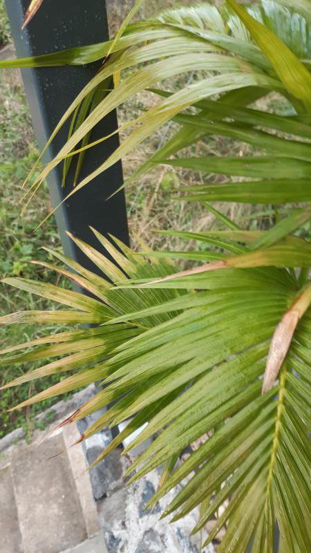 geel blad palm
