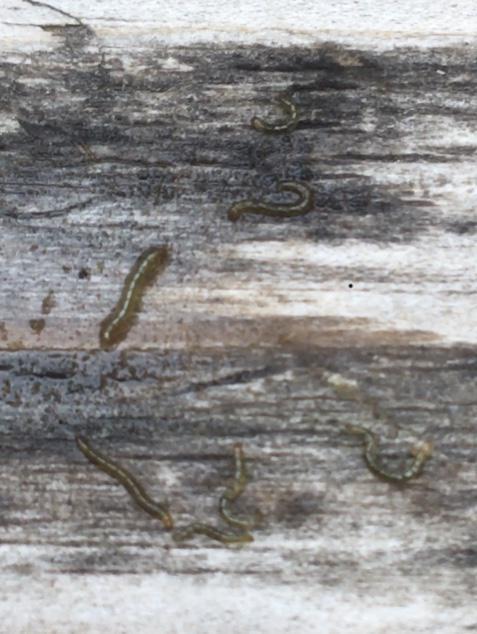 Wurmpjes