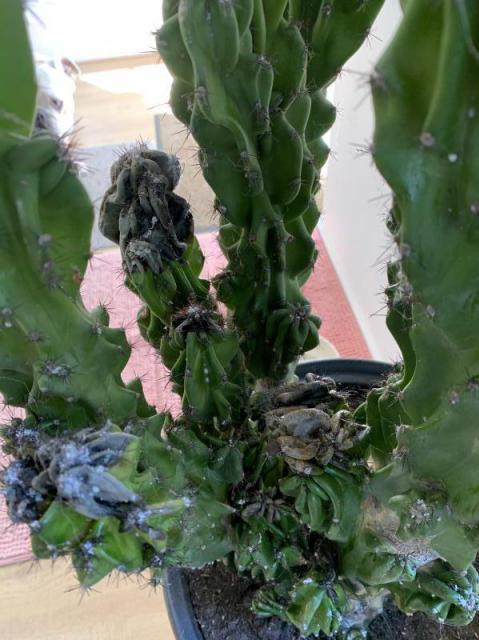 Rottende cactus ?