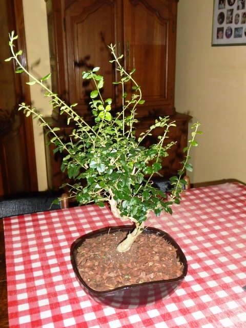 Naam bonsai