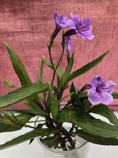 Wie kent dit plantje?