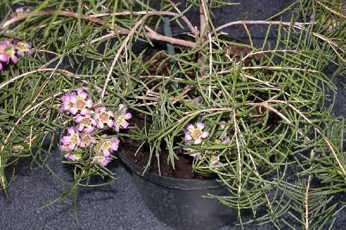 wie kent deze australische plant