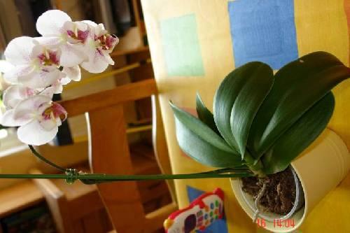 Mijn orchidee phalaenopsis