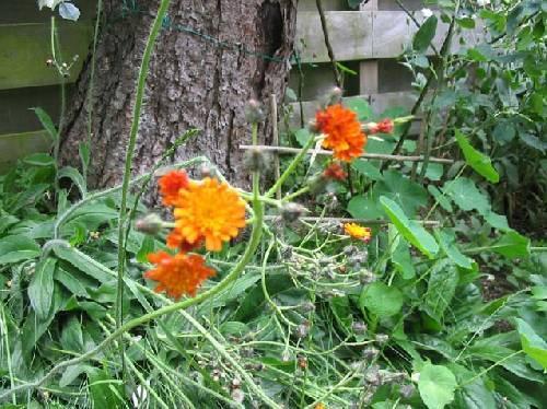 Wie weet hoe dit leuke oranje bloemetje heet?