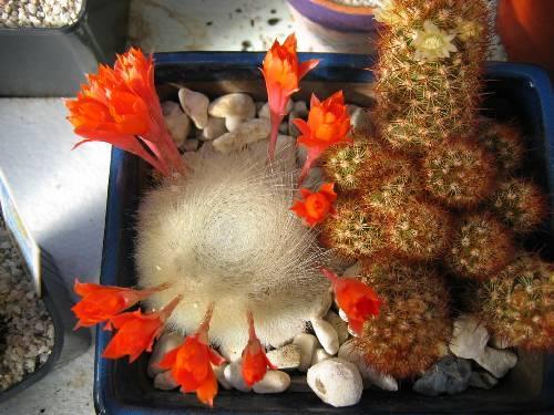 bloemen af halen van cactus