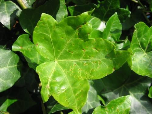 Rare vervorming blad klimop (hedera helix)