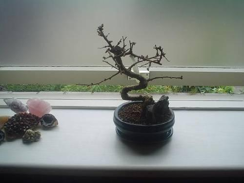 Bonsai wordt dor en kaal