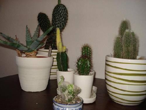 Welke cactussen zijn dit