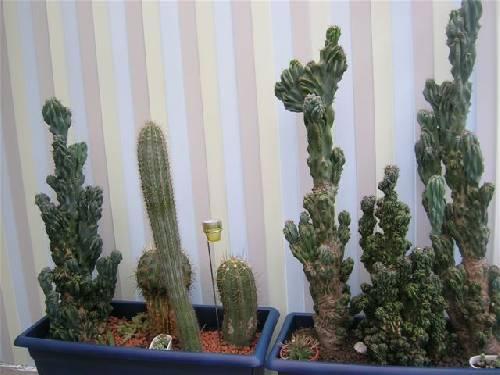 id van deze cactussen
