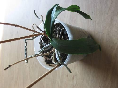 hoe krijg ik mijn orchidee in bloei?