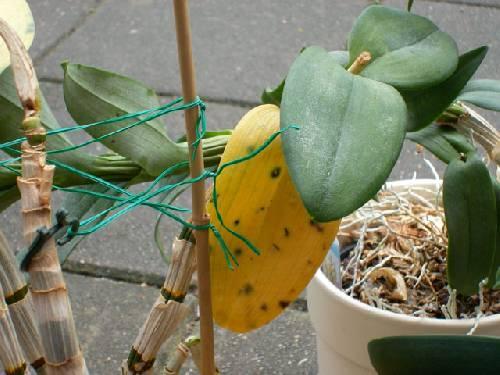 Orchideen ziekte?