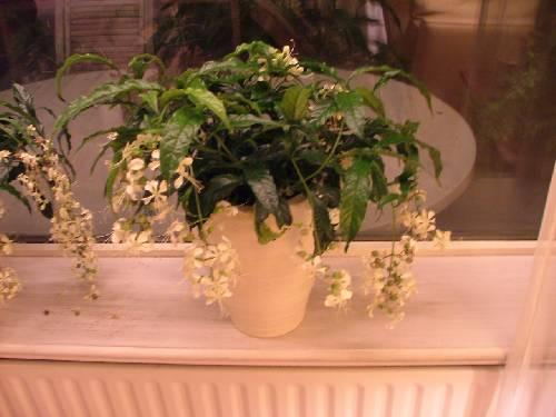 Rijstorchidee