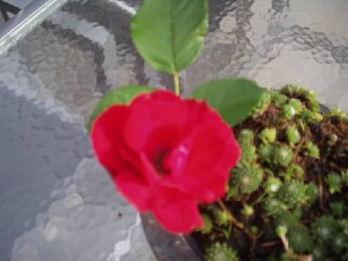 Kan iemand mij vertellen wat dit voor een roos is?