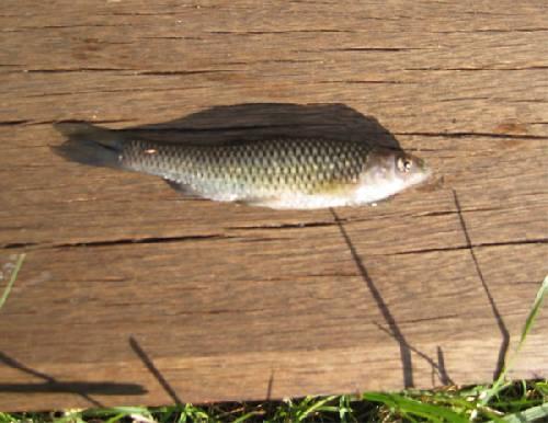 Wie kent dit visje