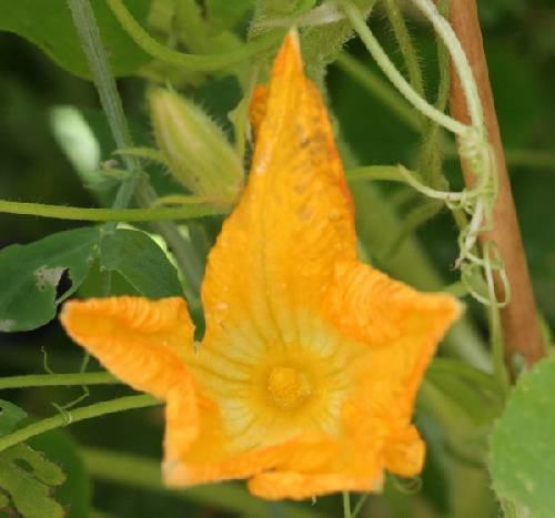 Grote stervormige bloem