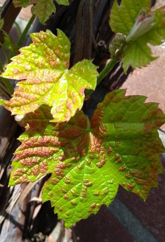 Vlekken op blad druif