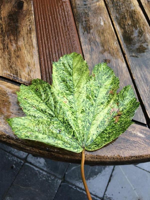 blad met weinig groen