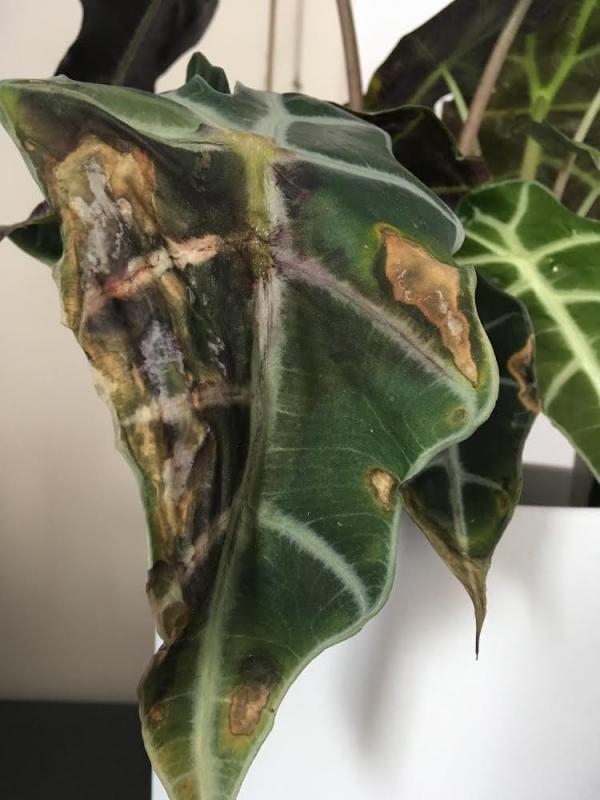 Bruine plekken (schimmel?) Alocasia