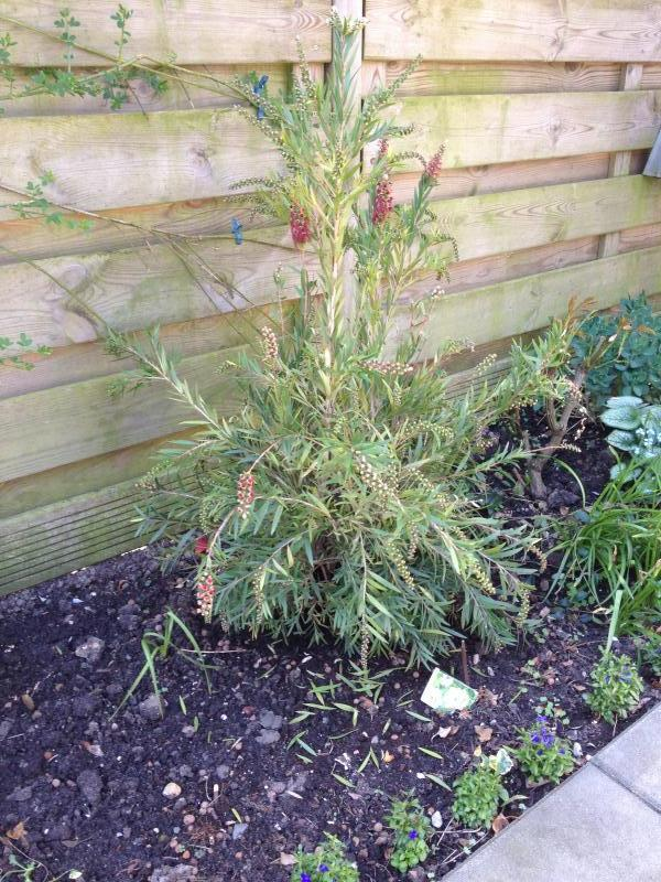 Bldverlies Callistemon