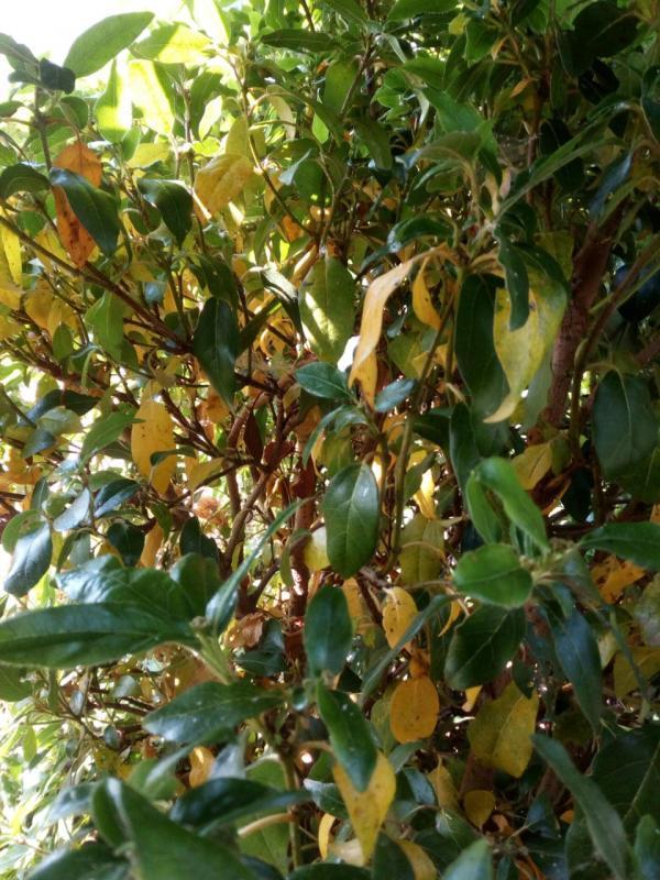 Geel blad Viburnum