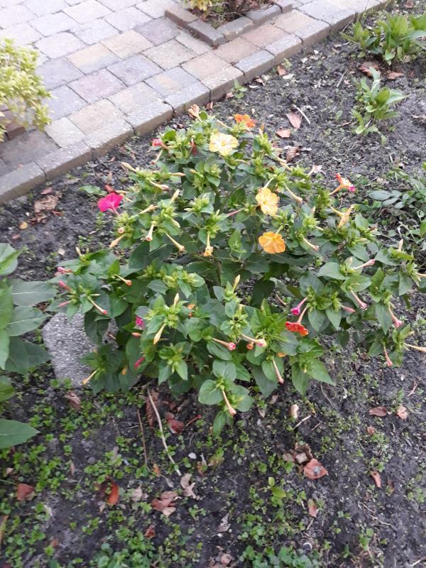 Veelkleurige bloemenstruik